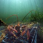 貿易戰衝擊下 加國需求量大 美龍蝦業獲救