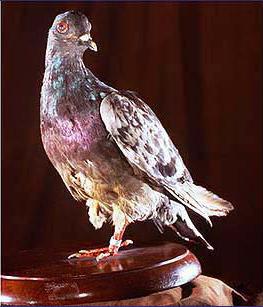 美國一戰百年紀念委員會指出,名為謝爾阿米(Cher Ami)的信鴿,拯救了194名美軍性命。(取自維基百科)