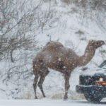 駱駝雪中漫步 賓州公路塞車不寂寞