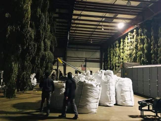 華資廠商正在收穫風乾的大麻花葉。(黃俊諺提供)