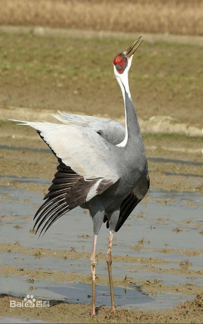 白枕鹤为杂食性鸟类。(取材自百度百科)