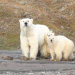 專家:北極熊可能從北極地區消失