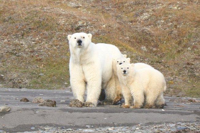 加拿大瀕危野生動物狀況委員會專家警告,北極熊可能會從廣袤的北極地區消失,因為北極海冰不斷融化,使得這種加拿大最大陸地掠食動物捕捉獵物面臨困難。 美聯社資料照片