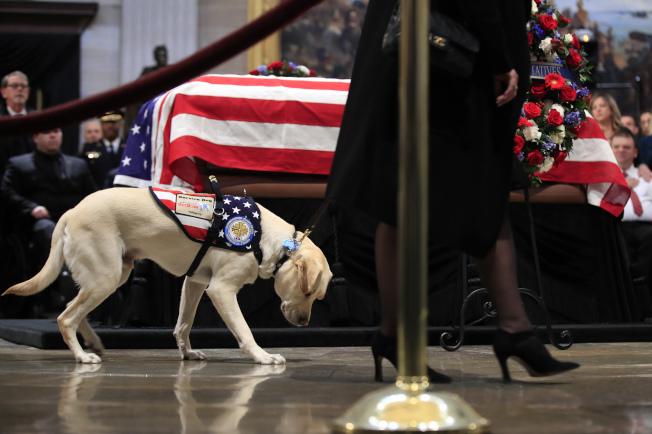 老布希總統的服務犬薩利低頭走過靈柩。(美聯社)