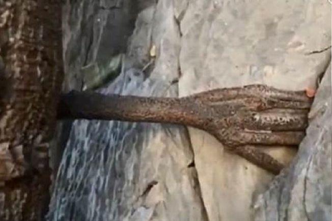 雲南香格里拉一棵3000年樹齡的菩提樹沿山壁而生,樹旁石縫竟有一隻手,五根指頭清晰可見,令人稱奇。(視頻截圖)