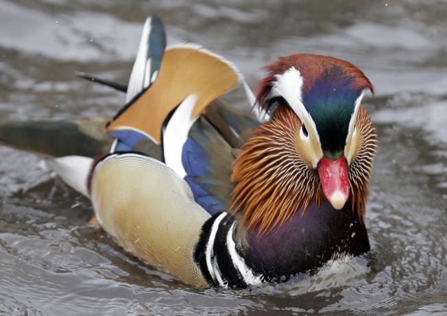 一隻鴛鴦落腳於中央公園,羽毛是白色、黑色、橘色、黃色與紫色相間,十分搶眼。(美聯社)