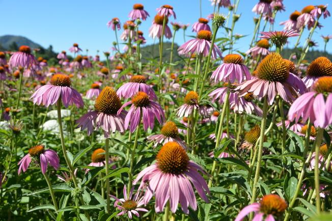 紫錐花。(圖作者提供)