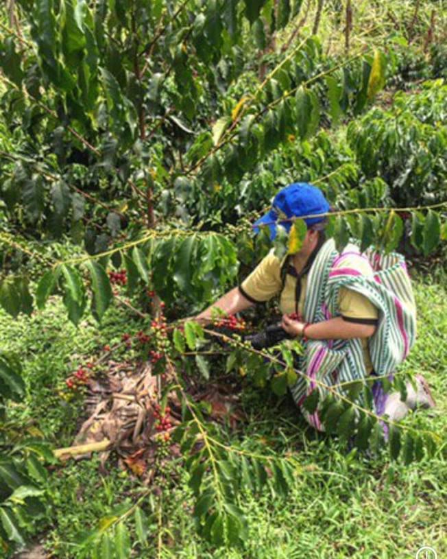 厄瓜多的「長壽村」生產高級咖啡。(普拉撒提供)