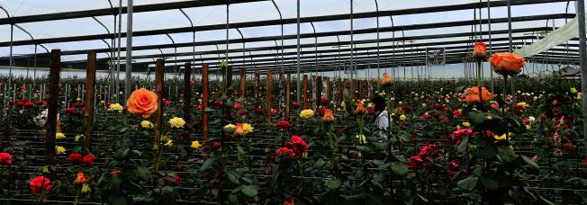 普拉撒的玫瑰園經營出口生意,厄瓜多的玫瑰有「世上最美的玫瑰」之稱。(普拉撒提供)