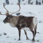 北極暖化食物減少 馴鹿數量減半