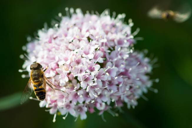 纈草與蜜蜂。