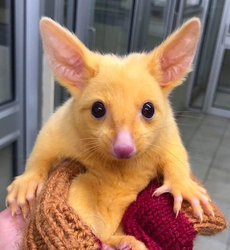 澳洲發現一隻稀有的金色袋貂,可愛的模樣在網路引發討論。圖片來源/Facebook