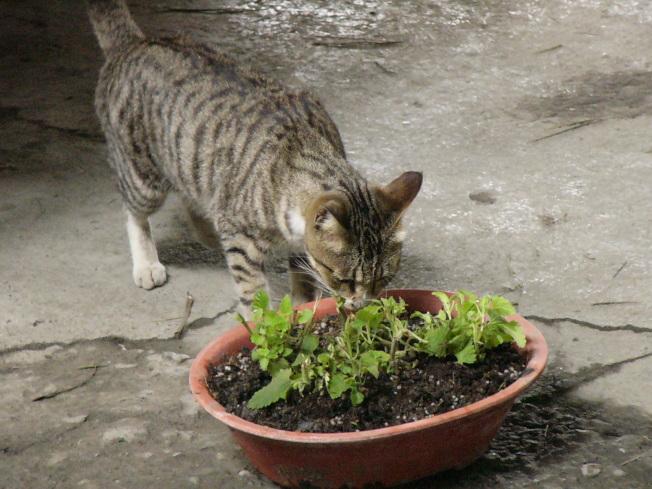 以肉類為主食的貓,對「貓薄荷」情有獨鍾。(本報資料照片)