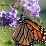 加州西方帝王斑蝶 2年內少逾8成