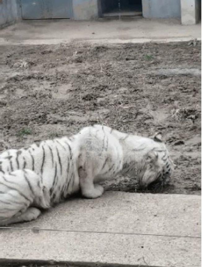 網傳武漢動物園瘦削白虎疑餓極吃土。(視頻截圖)