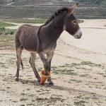 野驢被交通錐「套牢」 動物局機智解困