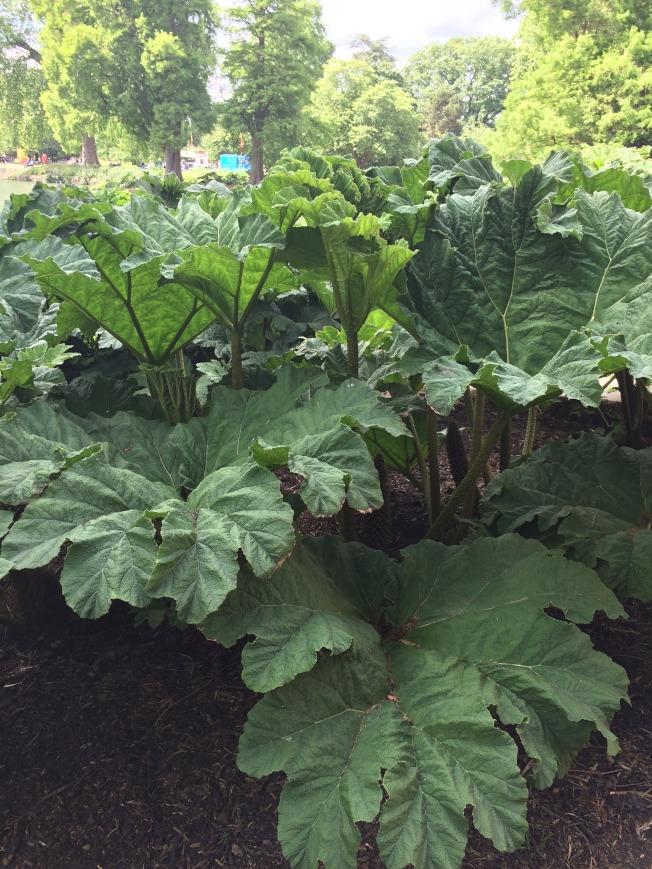 這種植物的葉片巨大,早期人類拿來遮雨。