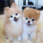 「全世界最可愛的狗狗」Boo去世 粉絲傷心