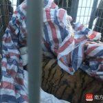 東北虎重傷 零下20℃野外手術救活