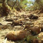 澳洲高溫再破紀錄 數十匹野馬活活渴死