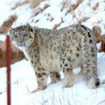 祁連山驚現雪豹與人相距不足10米