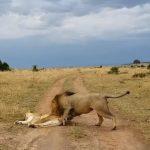 敢咬老娘!熟睡母獅被吵醒 暴打公獅