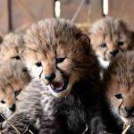 維州動物園 喜迎罕見獵豹七胞胎