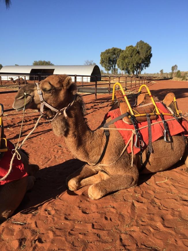 趴在地上耐心等待的駱駝。
