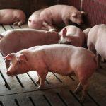 專家警告 非洲豬瘟今年恐襲美