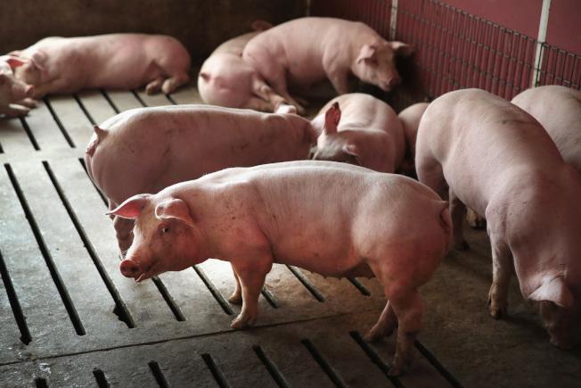 美國專家認為,美國今年將面對非洲豬瘟的嚴峻挑戰。(Getty Images)