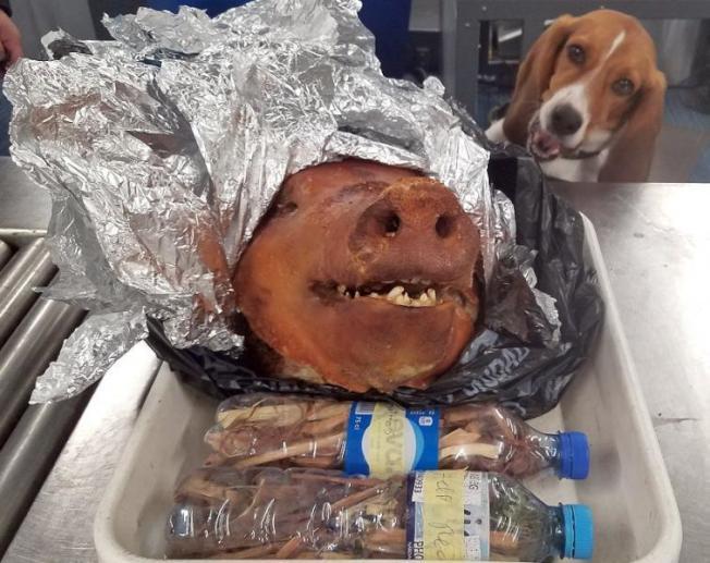 去年10月,亞特蘭大機場的檢疫犬,查到一名旅客攜帶豬頭闖關。(CBP提供)