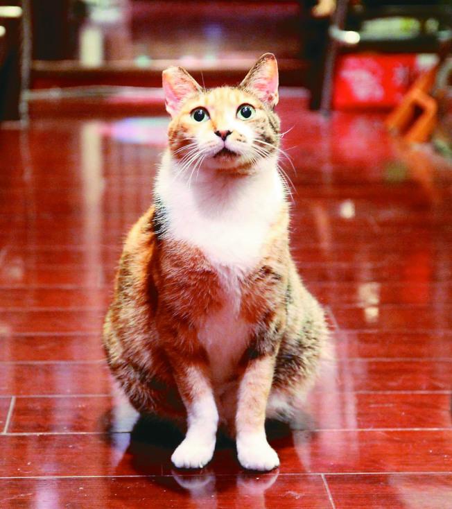 咖哩是一隻三花貓。(隱匿.圖片提供)