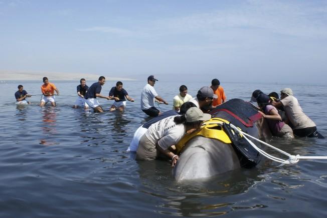 喙鯨集體擱淺…聲納害的