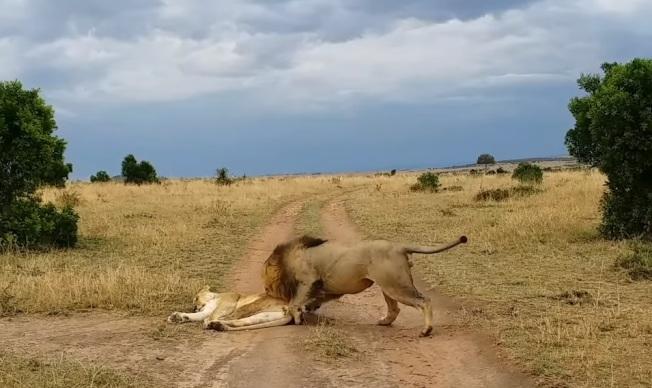 氣噗噗!母獅被吵醒…暴打公獅