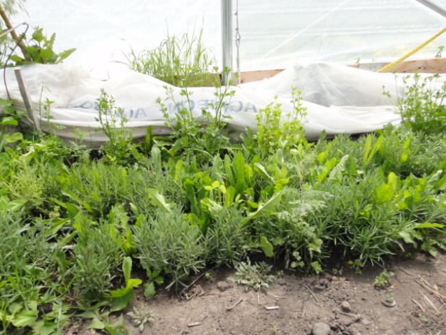 溫室栽培的迷迭香。(作者提供)