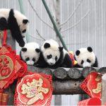11熊貓寶寶 來拜年囉!