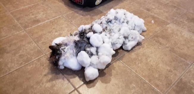 美國一隻名叫鬆鬆(Fluffy)的貓受困雪堆,導致全身結凍。 取材自臉書