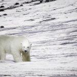 北極熊大舉入侵住宅區 俄新地島進入緊急狀態