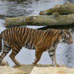 倫敦動物園蘇門答臘虎 相親變謀殺