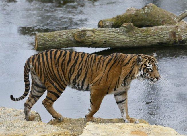 雌虎瑪拉提生前走過倫敦動物園裡的結冰池塘。 美聯社
