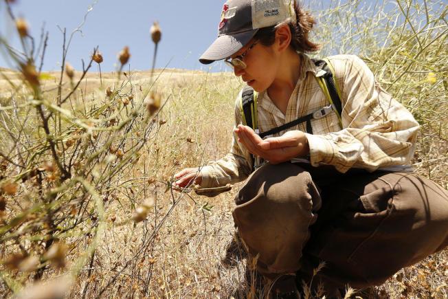 Stephanie馬從本土植物中蒐集種子。(洛杉磯時報)