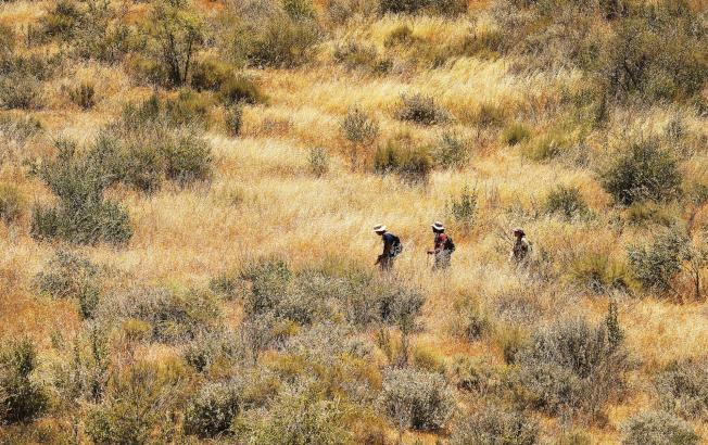 Shane Dewees(左起)、 Sameer Saroa和 Stephanie马走过外来侵入的杂草丛,这些杂草在原生鼠尾草遭火破坏后迅速生长。(洛杉矶时报)