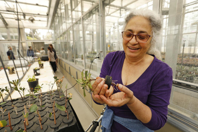 圣塔芭芭拉加大生态学教授Carla DAntonio在校园温室中检查栽培的原生树丛幼苗,研究人员将其种植在洛斯派瑞丝国家森林修复区。(洛杉矶时报)