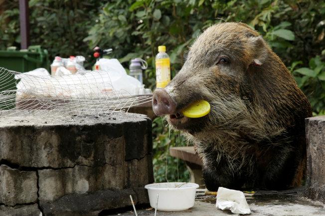 香港仔郊野公園內,野豬吃烤肉架上剩餘的食物。路透