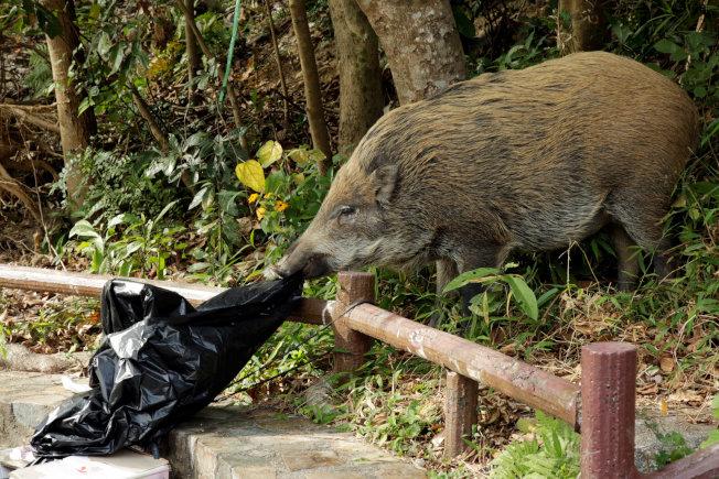 香港多地遭野豬入侵,不少野豬會在路邊垃圾桶找食物。路透