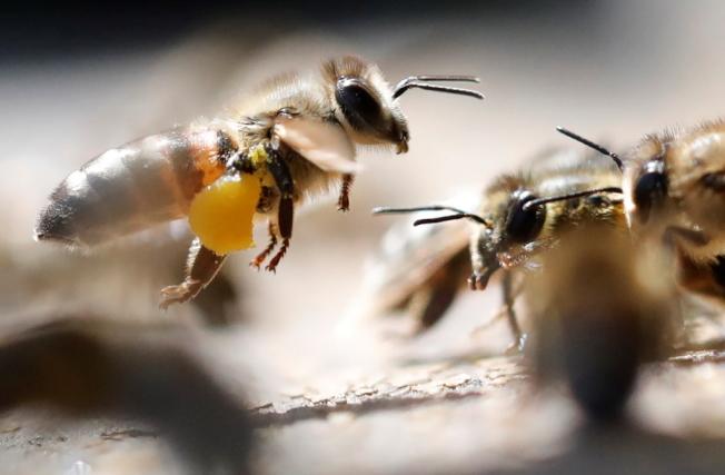 少了蜜蜂傳粉,許多植物將無法生存。(路透)