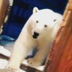 北極熊入侵俄新地島 專家:因氣候變遷與廚餘吸引