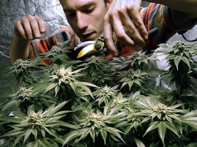 娛樂用大麻合法化 警醫教界齊轟