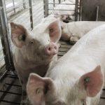 1年能賣出20億元…三全水餃驗出非洲豬瘟