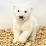 萌翻天!北極熊寶寶首亮相 柏林動物園公布性別